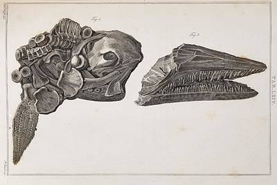 Conybeare Photograph - Ichthyosaur Skull And Paddle Everard Home by Paul D Stewart