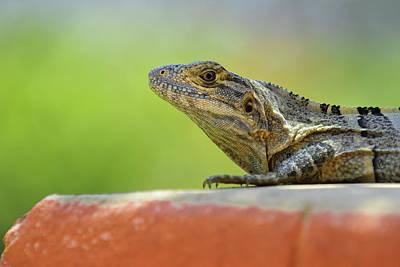 Photograph - Iguana  by Edward Kovalsky