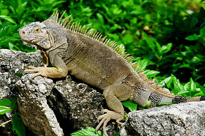 Photograph - Iguana by Frank Townsley