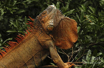 Photograph - Iguana Costa Rica by Bob Christopher