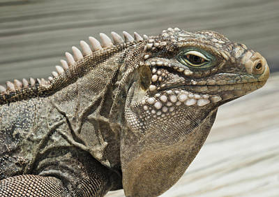 Photograph - Iguana Two by Stephen Anderson