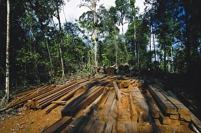 Illegal Logging Site, Felled Trees Art Print by Tim Laman