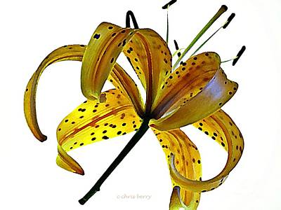 Photograph - Illuminated Tiger Lily by Chris Berry