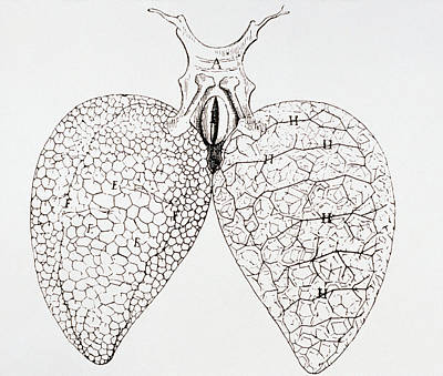 Illustration From Malpighi's Book On The Lungs Art Print