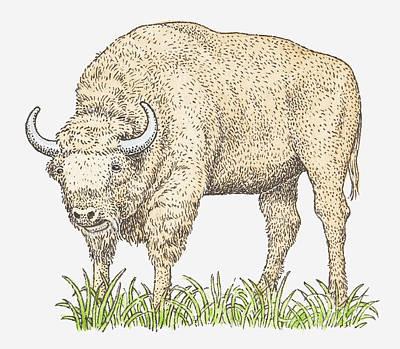 Illustration Of A Bison Art Print by Dorling Kindersley