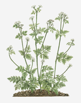 Y120907 Digital Art - Illustration Of Anthriscus Cerefolium (chervil) Bearing Umbels Of Small White Flowers On Tall Stem With Tripinnate Leaves by Evelyn Binns