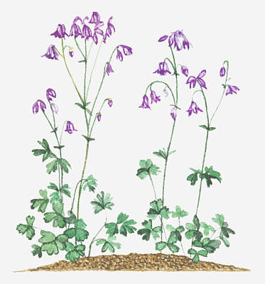 Y120907 Digital Art - Illustration Of Aquilegia Vulgaris (columbine), Purple Nodding Flowers by Joanne Cowne