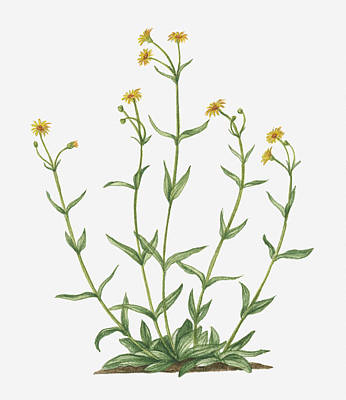 Y120907 Digital Art - Illustration Of Arnica Montana (leopard's Bane) Bearing Yellow Flowers On Tall Stems by Valerie Price