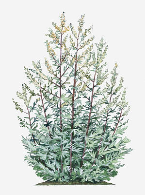 Y120907 Digital Art - Illustration Of Artemisia Vulgaris (mugwort) Bearing Yellow Flowers And Silver-green Leaves On Tall Stems by Liz Pepperell