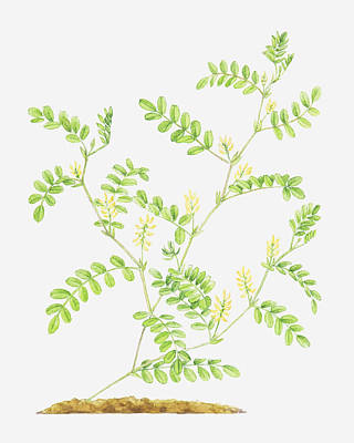 Y120907 Digital Art - Illustration Of Astragalus Glycyphyllos (wild Liquorice) by Helen Senior