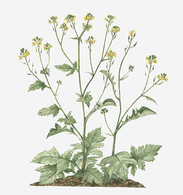 Y120907 Digital Art - Illustration Of Brassica Nigra (black Mustard) Bearing Racemes Of Small Yellow Flowers And Green Leaves On Long Stems by Evelyn Binns