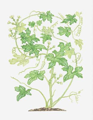 Y120907 Digital Art - Illustration Of Bryonia Dioica (white Bryony), Climbing Vine by Barbara Walker