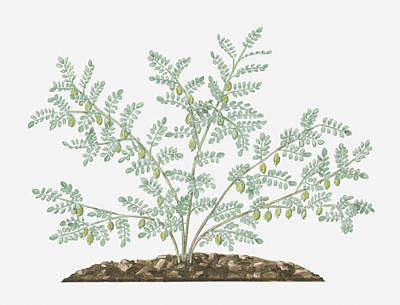 Illustration Of Cicer Arietinum (chickpea) Bearing Green Seedpods And Small Feathery Leaves On Long Stems Art Print by Evelyn Binns