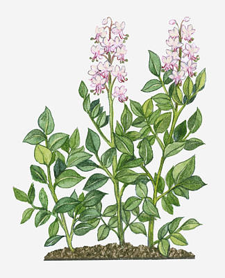 Y120907 Digital Art - Illustration Of Dictamnus Albus (white Dittany) Bearing White-pink Flowers On Tall Stems With Green Leaves by Michelle Ross