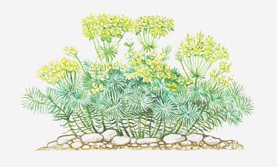 Y120907 Digital Art - Illustration Of Euphorbia Cyparissias (cypress Spurge), Yellow Flowers by Peter Bull