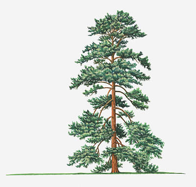 Y120907 Digital Art - Illustration Of Evergreen Pinus Wallichiana (bhutan Pine, Himalayan Pine) Tree by Sue Oldfield
