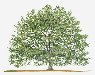Y120907 Digital Art - Illustration Of Fagus Sylvatica, (european Beech Or Common Beech) Deciduous Tree by Sue Oldfield