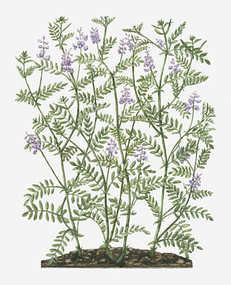 Y120907 Digital Art - Illustration Of Galega Officinalis (goat's Rue) With Lilac Flowers On Tall Stems With Small Leaves by Evelyn Binns