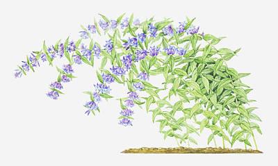 Purple Flowers Digital Art - Illustration Of Gentiana Asclepiadea (willow Gentian), Purple Flowers On Long, Bending Stems by Helen Senior