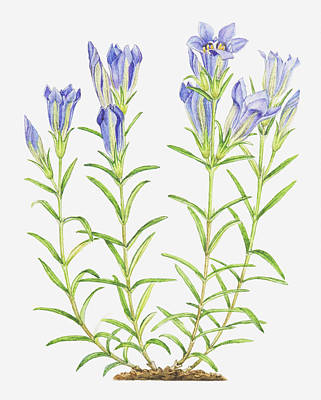 Y120907 Digital Art - Illustration Of Gentiana Pneumonanthe (marsh Gentian), Blue Flowers by Helen Senior