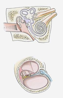 Inner Part Digital Art - Illustration Of Human Ear, Inner And Middle Ear (top) And Three Chambers Of The Cochlea (bottom) by Dorling Kindersley