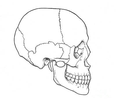 Illustration Of Human Skull Art Print by Science Source