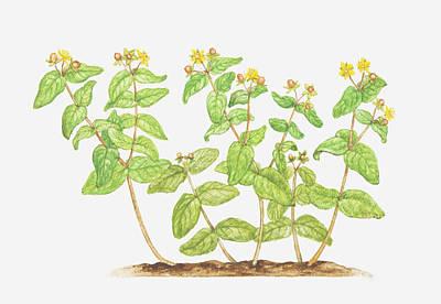 Y120907 Digital Art - Illustration Of Hypericum Androsaemum (tutsan), Wildflowers by Tricia Newell