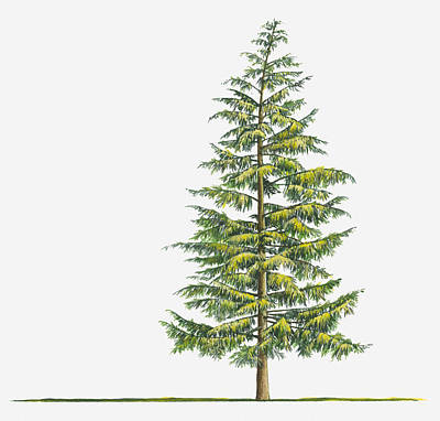 Illustration Of Large Evergreen Tsuga Heterophylla (western Hemlock) Tree Print by Sue Oldfield