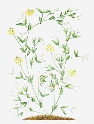 Y120907 Digital Art - Illustration Of Lathyrus Pratensis (meadow Vetchling), Leaves And Yellow Flowers On Slender Stems by Dorling Kindersley