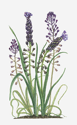 Illustration Of Leopoldia Comosa Syn Muscari Comosum (tassel Hyacinth) Bearing Violet-blue Flowers And Buds On Tall Stems And Long Green Leaves Art Print by Barbara Walker