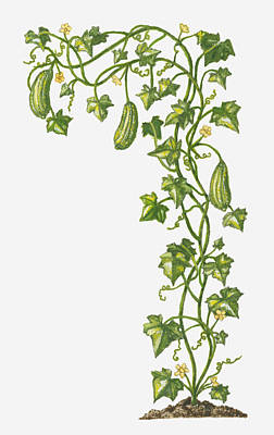 Y120907 Digital Art - Illustration Of Luffa Cylindrica (smooth Loofah) Bearing Greenfruit And Yellow Flowers by Dorling Kindersley