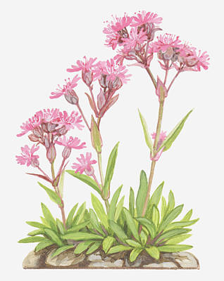 Pink Rose Bushes Digital Art - Illustration Of Lychnis Alpina (alpine Catchfly), Pink Flowers by Ann Winterbotham