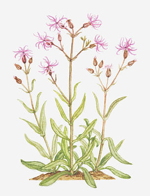 Pink Rose Bushes Digital Art - Illustration Of Lychnis Flos-cuculi (ragged Robin), Wildflowers by Tricia Newell