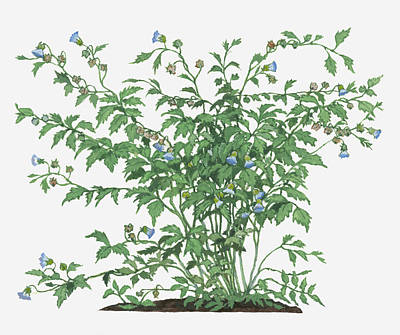 Y120907 Digital Art - Illustration Of Nicandra Physalodes (shoo-fly Plant) Bearing Bell-shaped Violet Flowers And Toothed Green Leaves On Long Branching Stems by Barbara Walker