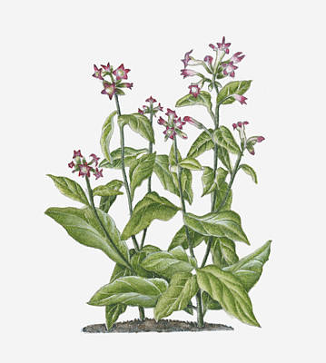 Nicotiana Tabacum Digital Art - Illustration Of Nicotiana Tabacum (tobacco) Bearing Pink-white Flowers On Long Stems With Green Leaves by Ruth Hall