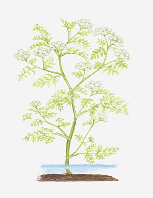 Y120907 Digital Art - Illustration Of Oenanthe Aquatica (fine-leaved Water-dropwort), Aquatic Plant by Ann Winterbotham
