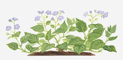 Purple Flowers Digital Art - Illustration Of Omphalodes Verna (blue-eyed Mary), Leaves And Purple Flowers by Dorling Kindersley