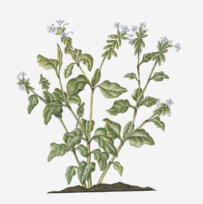 Y120907 Digital Art - Illustration Of Plumbago Zeylanica (ceylon Leadwort) Evergreen Shrub With White Flowers On Long Stems by Ruth Hall