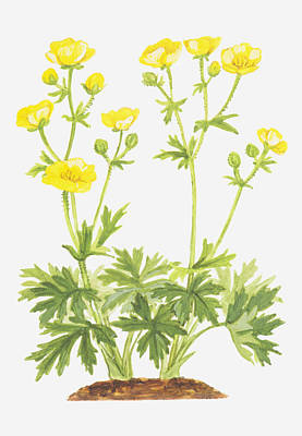 Y120907 Digital Art - Illustration Of Ranunculus Aris (meadow Buttercup), Yellow Flowers by Ann Winterbotham