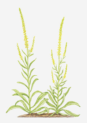 Y120907 Digital Art - Illustration Of Reseda Luteola (weld), Yellow Flower Spikes by Tricia Newell