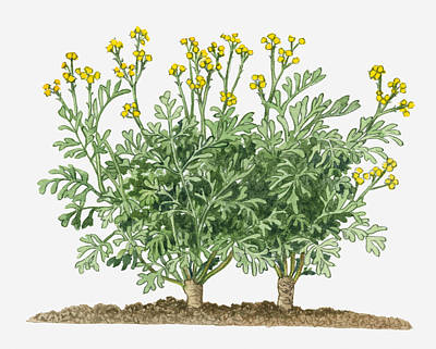 Y120907 Digital Art - Illustration Of Ruta Graveolens (common Rue) With Yellow Flowers On Long Stems by Michelle Ross
