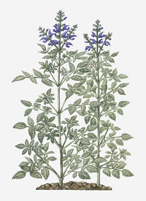 Y120907 Digital Art - Illustration Of Salvia Miltiorrhiza (red Sage) With Purple Flowers On Tall Stems by Evelyn Binns