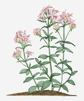 Y120907 Digital Art - Illustration Of Saponaria Officinalis (common Soapwort) Bearing Pink Flowers And Green Leaves On Tall Stems by Joanne Cowne