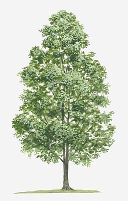 Y120907 Digital Art - Illustration Of Syzygium Aromaticum (clove) Evergreen Tree by Tim Hayward