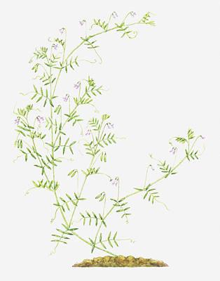 Y120907 Digital Art - Illustration Of Vicia Tetrasperma (smooth Tare, Smooth Vetch), Wildflowers by Helen Senior