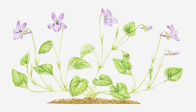 Purple Flowers Digital Art - Illustration Of Viola Reichenbachiana (early Dog-violet), Purple Flowers by Helen Senior