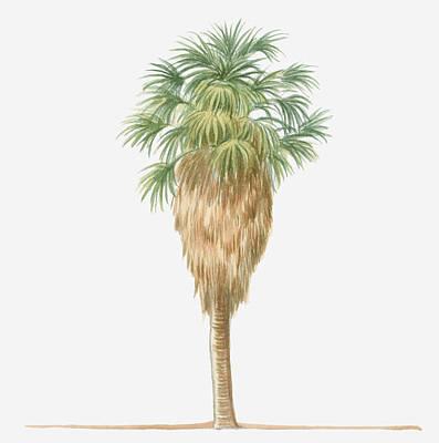 Illustration Of Washingtonia Filifera (california Fan Palm) Bearing Leaf Fronds Atop Brown Skirt Of Dead Fronds Art Print