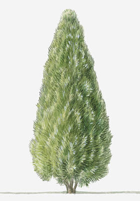 Y120907 Digital Art - Illustration Showing Shape And Foliage Of Evergreen Platycladus Orientalis (chinese Arborvitae) Tree by Dorling Kindersley