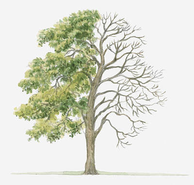 Y120907 Digital Art - Illustration Showing Shape Of Deciduous Acer Monspessulanum (montpellier Maple) With Green Summer Foliage And Bare Winter Branches by Dorling Kindersley