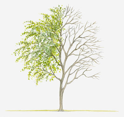 Y120907 Digital Art - Illustration Showing Shape Of Deciduous Caranga Arborescens (siberian Peashrub) Tree With Green Summer Foliage And Bare Winter Branches by Dorling Kindersley